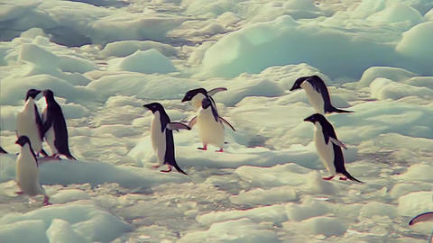 a Flock of Penguins Jumping on The Ice Footage