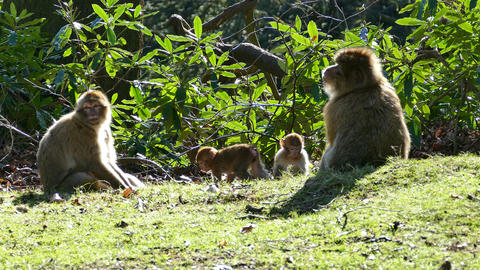 Barbary Macaques & Young stock footage