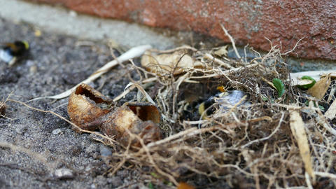 Colonie Bumblebees Working At Nest In Time Lapse stock footage