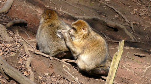 Barbary Macaque Monkeys Grooming stock footage