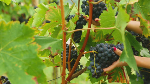 Red Grapes Bunches stock footage