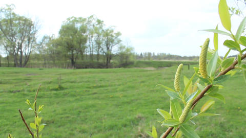 Young Sprouts Of A Willow In The Spring stock footage