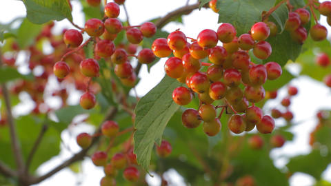 Bunch Of Ripe Viburnum Wind Shakes 2 stock footage