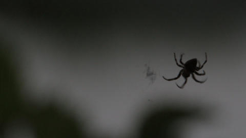 Spider weaves a web of 3 Footage