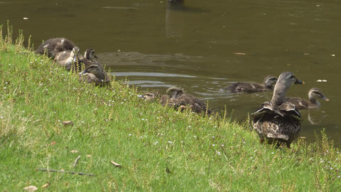 Duck Family Resting Near A Pond stock footage