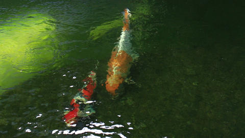 koi fish swim in garden pond Footage