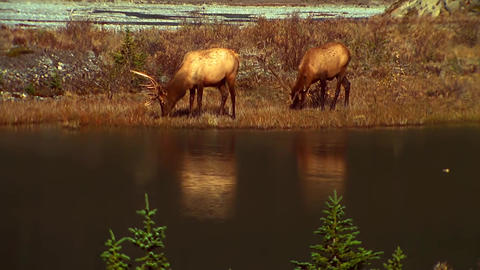 View Of The Lake In The Canadian Mountains. Deer Walk By The Lake stock footage