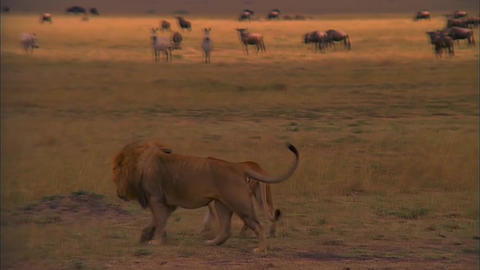 a Pair of Lions Walking on The Savannah Footage