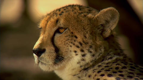 Leopard Close Up. Lying In The Shade stock footage