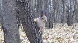 Squirrel Sitting On A Tree Trunk And Has A Nut stock footage