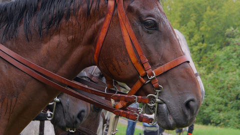 Closeup of a horse head in harness Footage