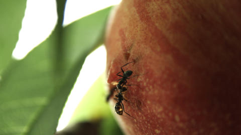 Peach And Ants stock footage