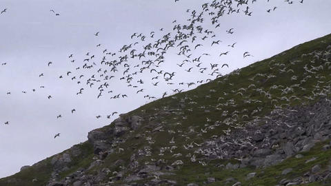 Soaring A Hundred Birds stock footage