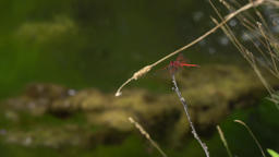 Two Dragonflies On A Branch Above A Creek With Algae Floating In 4k stock footage