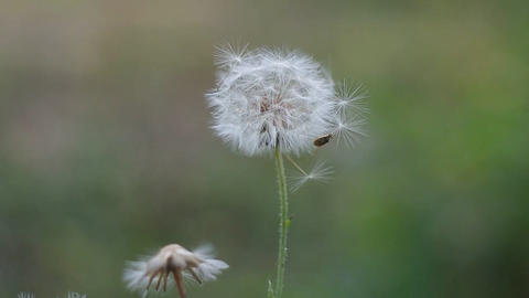 Air Dandelion And A Beetle stock footage