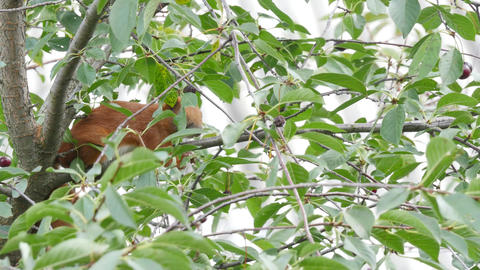 Squirrel Sitting On A Branch stock footage