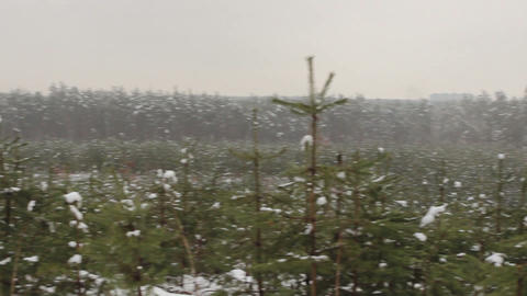 Wide shot of new year trees (fir-tree) in snow Footage