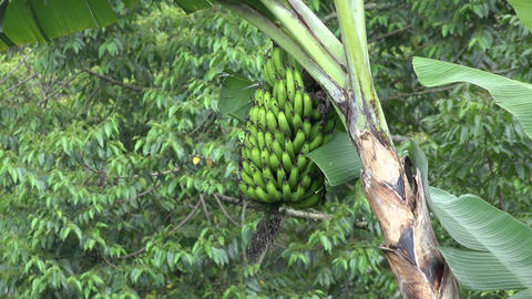 Bunch Of Bananas Hanging On Tree stock footage