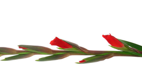 Time-lapse Of Red Gladiolus Flower Opening Vertical Composition 3Time-lapse Of Red Gladiolus Flower stock footage