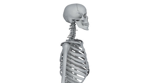 skeleton model Animation