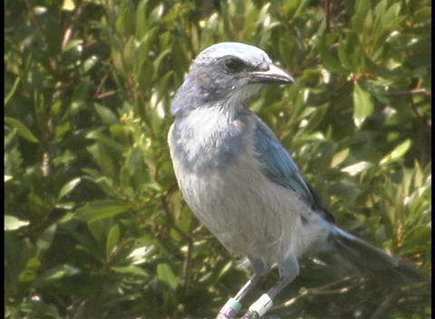 A bluish-gray bird puffs up its chest and ruffles its feather as it perches on a branch Footage