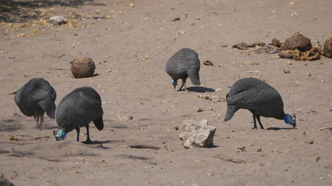 Guinea Fowl In Chobe National Park stock footage