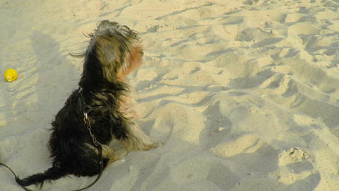 A Small Yorkshire Dog Sitting On The Sand stock footage