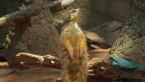 Meerkat From Head To Toe Before He Sits Into Frame stock footage