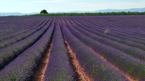 Fields With Lavender In Blossom Rural Landscape In Provence France Footage