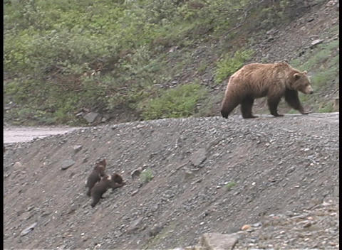 A Mother Brown Bear And Cubs Walk Up A Steep Embankment And Cross The Road stock footage