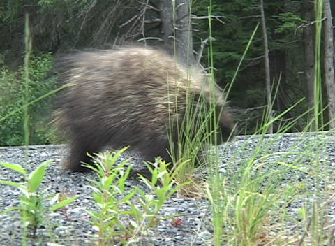 A Porcupine Starts To Cross A Road And Turns Around stock footage