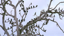 lot Cormorant birds resting on tree in Udawalawe, Sri Lanka Footage