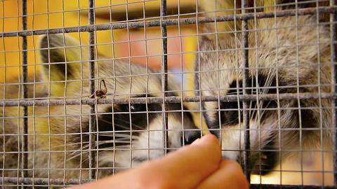 Very Cute Raccoons being Hand Fed in a Cage Footage