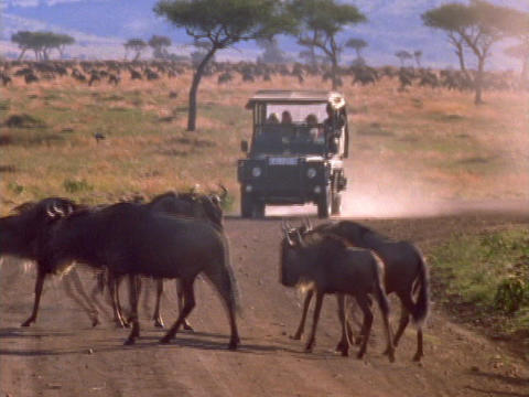 Wildebeests Cross The Road In Front Of A Jeep In Kenya, Africa stock footage