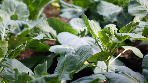 Cabbage growing in the garden Footage