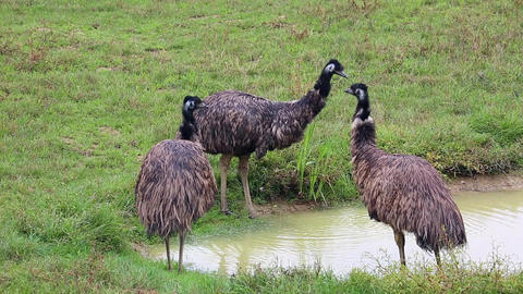 Group Of Emu Birds Footage
