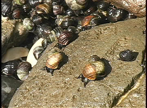 During Low Tide On An Alaskan Beach, Snails Crawl Across A Wet Rock Into A Tide Pool stock footage