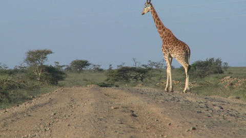 African Giraffes Cross The Road stock footage