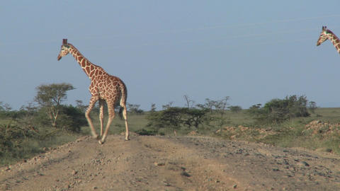 Two African Giraffes Cross The Road stock footage