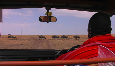 A Masai Tribes-man Waits In A Vehicle For Wildebeest To Cross The Road stock footage