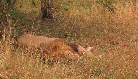 A Lion Lies In The Grass, Moves Its Mouth Slightly And Breathes Quickly, As The Grass Is Blown By Th stock footage