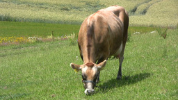 Grazing Jersey Dairy Cow At Pasture stock footage