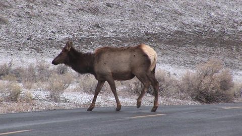 Camera Follows Two Female Elk As They Cross The Road To Forage For Food, Ignoring An Approaching Car stock footage