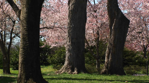 A runner and a bicyclist exercise in a beautiful park full of cherry blossoms Footage