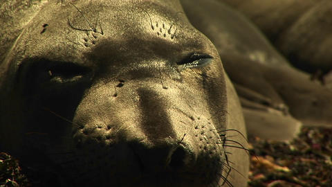 Close-up of a sleeping harbor seal's face as flies crawl across it Footage