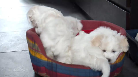 Bichon Frise Puppies A Footage