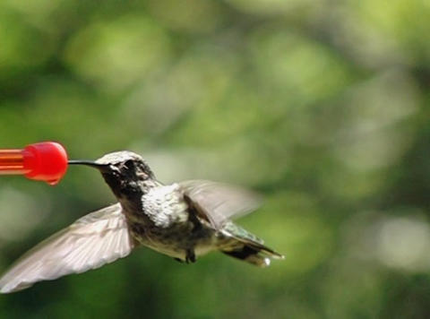 Humming Bird Flapping Its Wings And Sipping stock footage