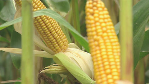 Fresh corn cobs on the plant Footage