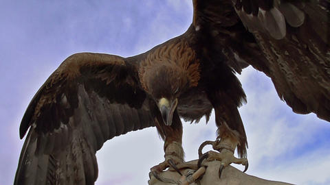 Birds Of Prey stock footage