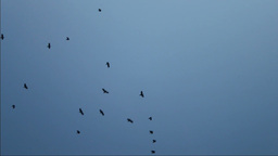 Black Crows stock footage